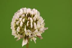 Biała koniczyna, Trifolium repens Obrazy Royalty Free
