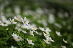 Biała lasowa wiosna kwitnie anemony Zdjęcie Royalty Free