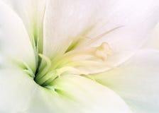 Biała leluja Zdjęcia Royalty Free