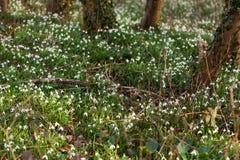 Biała leluja dolina w lesie Fotografia Royalty Free