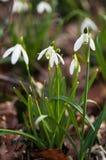 Biała leluja dolina w lesie Zdjęcie Royalty Free