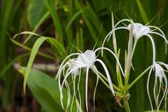 Biała leluja kwitnie w ogródzie Obrazy Royalty Free