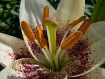 Biała leluja makro- Zdjęcie Royalty Free