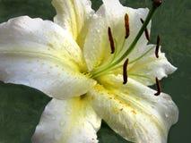 Biała leluja makro- z Raindrops na zieleni Obraz Royalty Free