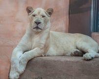 Biała lwica Zdjęcia Royalty Free