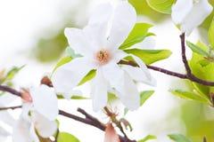Biała magnolia Obrazy Stock