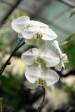Biała Motylia orchidea Fotografia Royalty Free