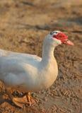 Biała Muscovy kaczka Obraz Stock