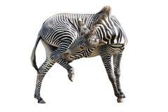 biała odizolowana zebra Fotografia Stock