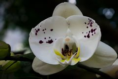 Biała orchidea Obraz Stock