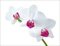 Biała orchidea ilustracja wektor