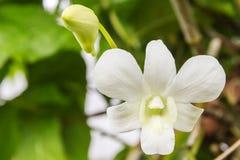 Biała orchidea Zdjęcie Royalty Free