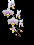 Biała orchidea fotografia royalty free