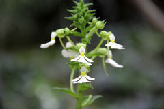Biała orchidea (Calanthe alismifolia) Zdjęcia Royalty Free