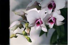 Biała orchidea, dzika orchidea Zdjęcia Royalty Free