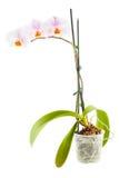 Biała orchidea Izbowy kwiat w przejrzystym flowerpot Obrazy Stock