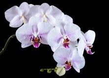 Biała orchidea na czarnym tle Obrazy Royalty Free