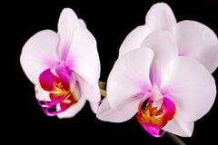 Biała orchidea na czarnym tle Zdjęcie Stock
