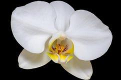 Biała orchidea na czerni Zdjęcia Stock