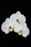Biała orchidea, phalaenopsis kwitnie na czerni Obraz Royalty Free