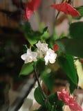 Biała orchidea w garnku zdjęcia royalty free
