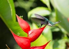 Białoszyi jakobinu Hummingbird Florisuga mellivora Fotografia Stock