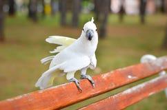 Biała papuga Cacatua galerita na a - Czubaty kakadu - zdjęcia stock