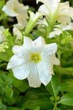 Biała petunia z podeszczowymi kroplami Zdjęcia Royalty Free