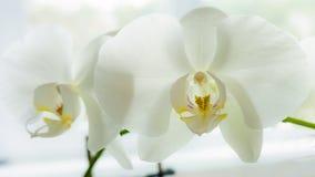 Biała Phalaenopsis orchidea Obrazy Stock