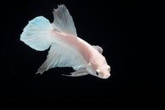 Biała platyna boju ryba Fotografia Royalty Free