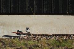 Biała pliszka Przed domem Zdjęcie Royalty Free