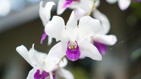 Biała Purpurowa orchidea Zdjęcia Stock