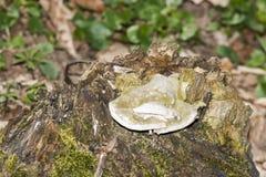 Biała serowa huby pieczarka (Tyromyces chioneus) Obrazy Royalty Free