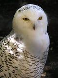 biała sowa Obrazy Royalty Free