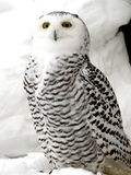 biała sowa Obraz Stock