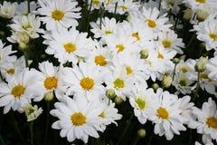 Biała stokrotka Zdjęcie Royalty Free