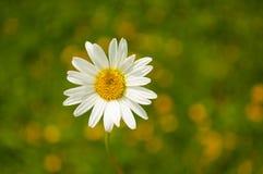 Biała stokrotka Fotografia Royalty Free