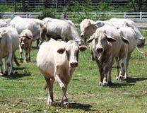 Biała tajlandzka krowa Zdjęcia Royalty Free