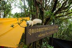 Biała wiewiórka przy khao luang nakhon sri thammarat Zdjęcie Royalty Free