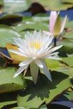 Biała wodna leluja Fotografia Stock