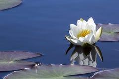 Biała wodna leluja z pogodnym odruchem Obrazy Royalty Free