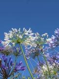 Biały agapant Fotografia Royalty Free