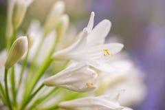 Biały agapanthus kwiat Fotografia Royalty Free