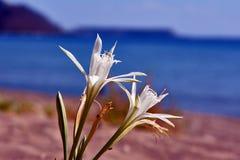 Biały agapantu africanus kwiat Obrazy Royalty Free