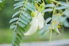 Biały agasta kwiat na drzewie Obrazy Stock