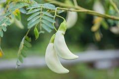 Biały agasta kwiat na drzewie Fotografia Royalty Free