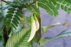 Biały agasta kwiat Sesbania Jarzynowy Hummingbird Zdjęcia Royalty Free