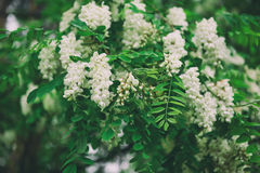 biały akacjowi kwiaty Obraz Stock