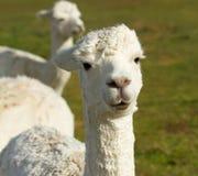 Biały Alpaga Zdjęcie Royalty Free
