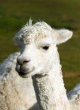 Biały Alpagowy portret Obraz Stock